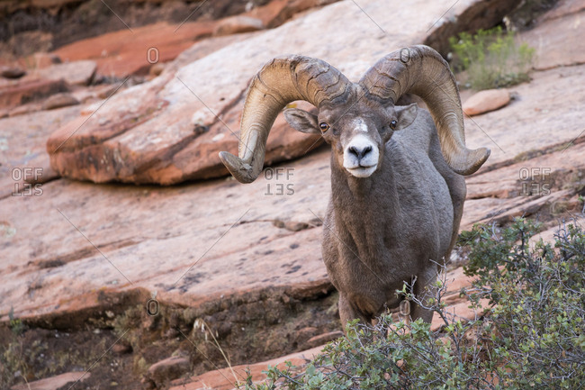 Male big horn looking at camera