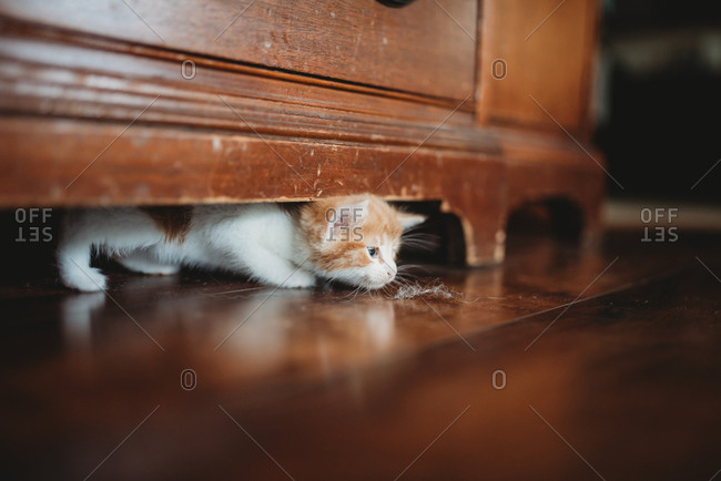 Orange and white kitten looking at dust bunny on floor