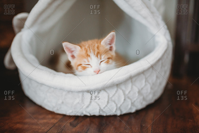 Small orange and white kitten sleeping in pet bed