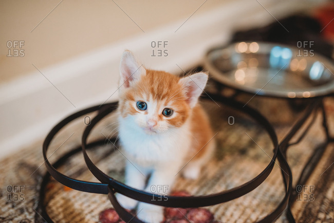Small orange and white kitten sitting by water dish