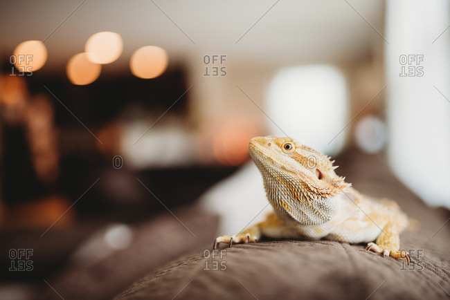 Pet Bearded Dragon on back of a sofa