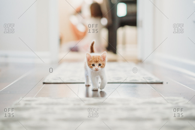 Orange and white kitten walking down hallway