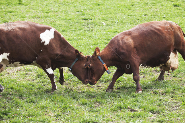 Cows facing one another on field