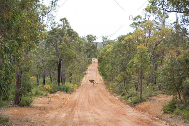 Kangaroo hopping across dirt road in Western Australia