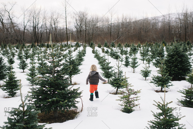 Young child looking for Christmas tree on a farm