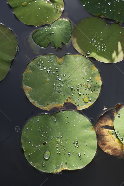 Water droplets on lily pads