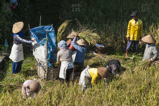 Bali, Indonesia - April 10, 2009: Workers harvest in a field in Bali
