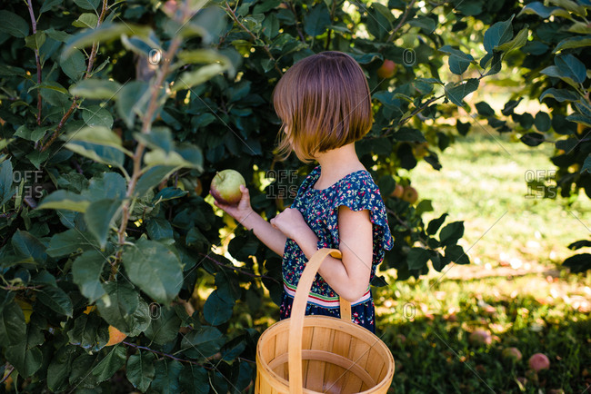 Girl holding a freshly picked apple standing in an orchard with a basket