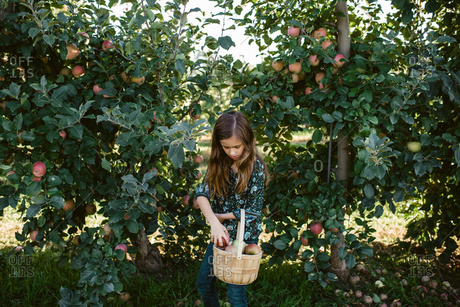 Girl filling a basket with apples picked from trees in orchard