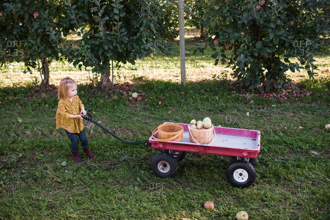 Girl pulling a wagon with baskets full of apples picked from trees in orchard