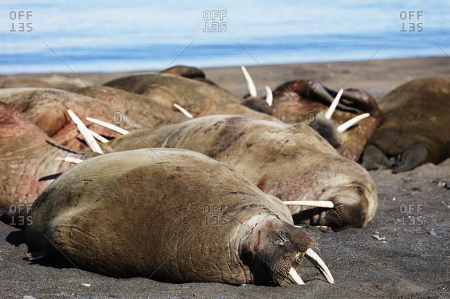 Walrus (Odobenus rosmarus), Kapp Lee, Spitsbergen, Svalbard, Arctic, Norway, Europe