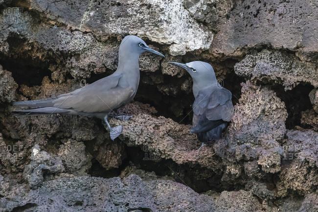 Brown noddy (Anous stolidus) pair at nest site on Floreana Island, Galapagos, Ecuador, South America