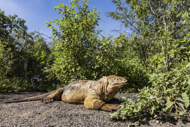 Adult Galapagos land iguana (Conolophus subcristatus) basking in Urbina Bay, Isabela Island, Galapagos, Ecuador, South America