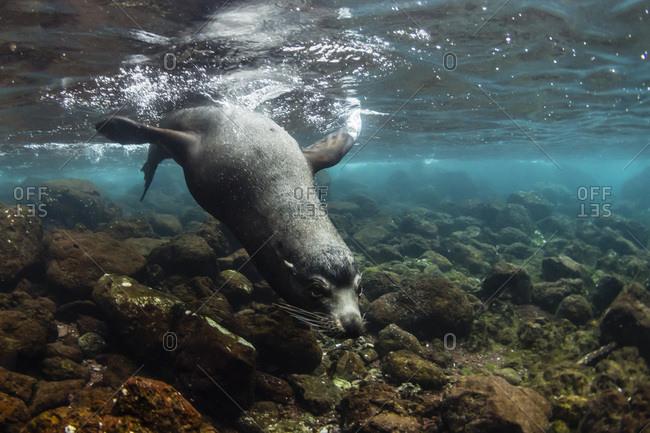 Bull Galapagos sea lion (Zalophus wollebaeki) underwater at Santiago Island, Galapagos, Ecuador, South America