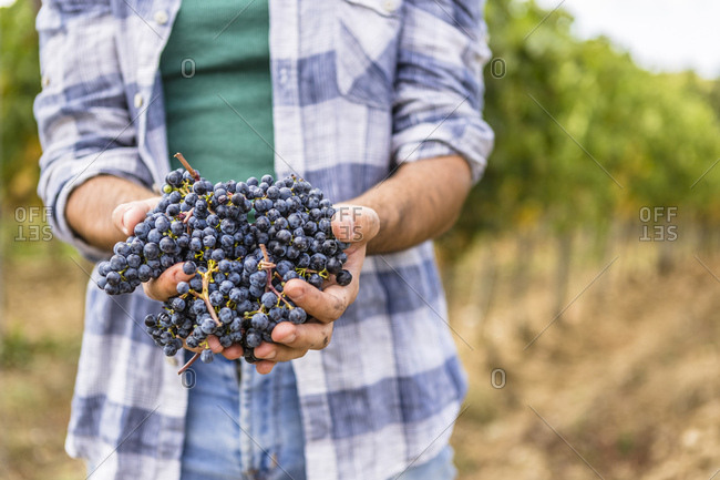 Close-up of man holding harvested grapes