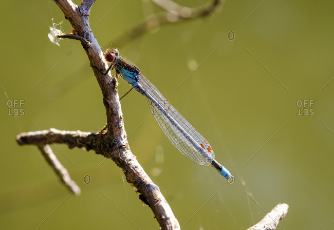 Red-eyed damselfly on twig