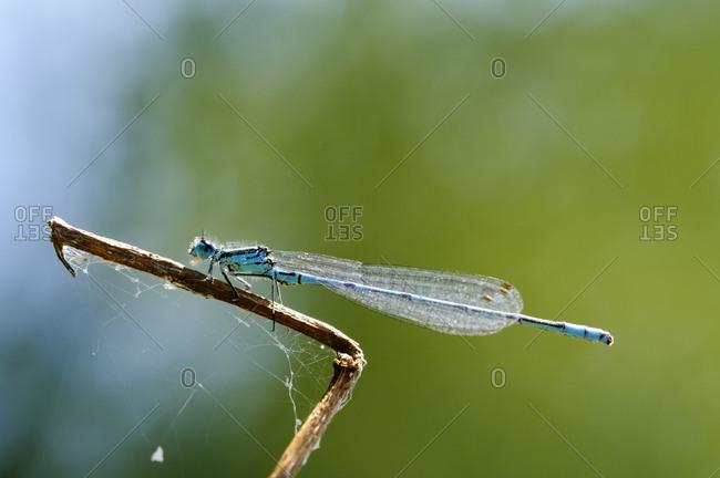 Azure damselfly on twig