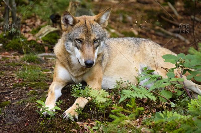 Germany- Bavaria- Bavarian Forest National Park- lying wolf