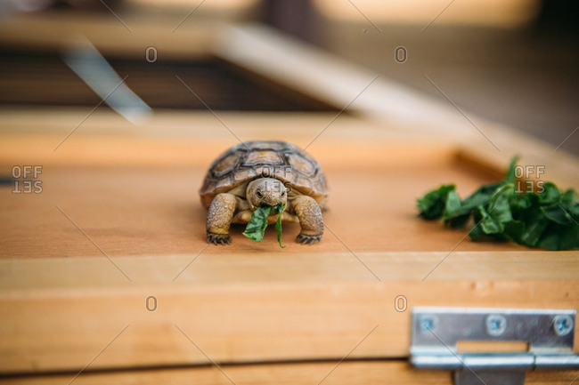 Pet tortoise on a wooden box eating lettuce