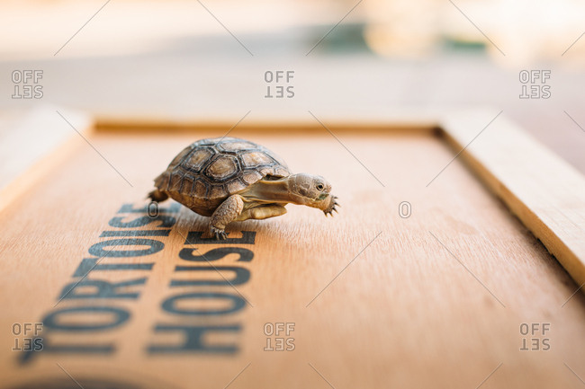 Pet tortoise on a wooden box