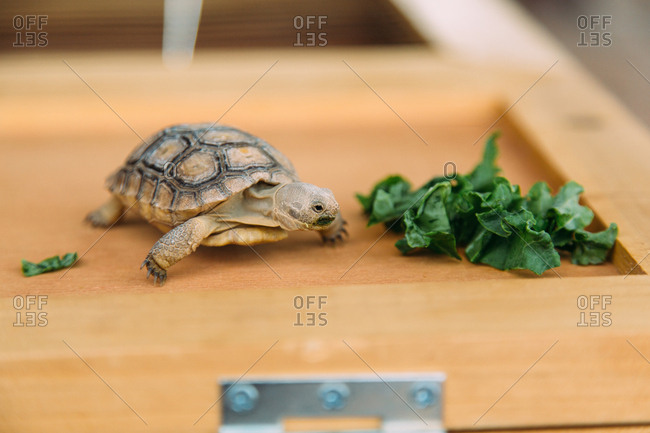 Pet tortoise on a wooden box by a pile of lettuce