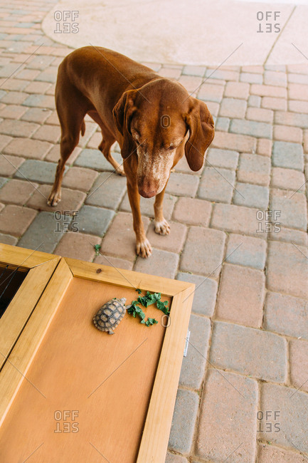 Dog looking at a pet tortoise on a wooden box