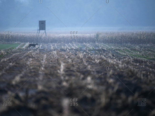 Arable field with roe deer and hunting post on misty morning Nordrhein-Westfalen, Germany