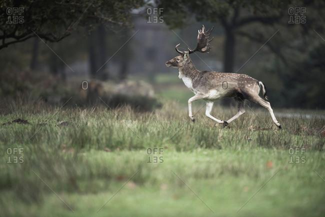Fallow deer buck running in field wildlife park, Dulmen, Germany