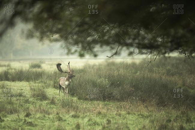 Fallow deer buck (dama dama) in field under tree in a wildlife park, Dulmen, Germany