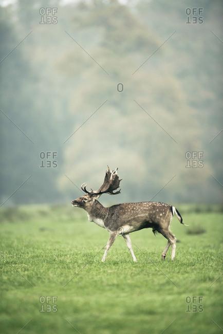 Fallow deer buck walking in foggy meadow