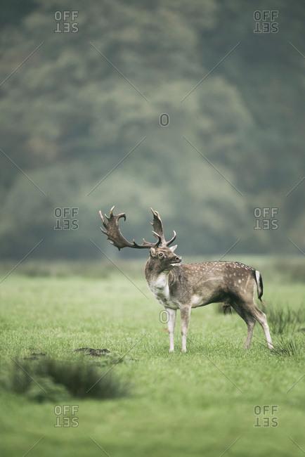 Fallow deer buck standing in foggy meadow