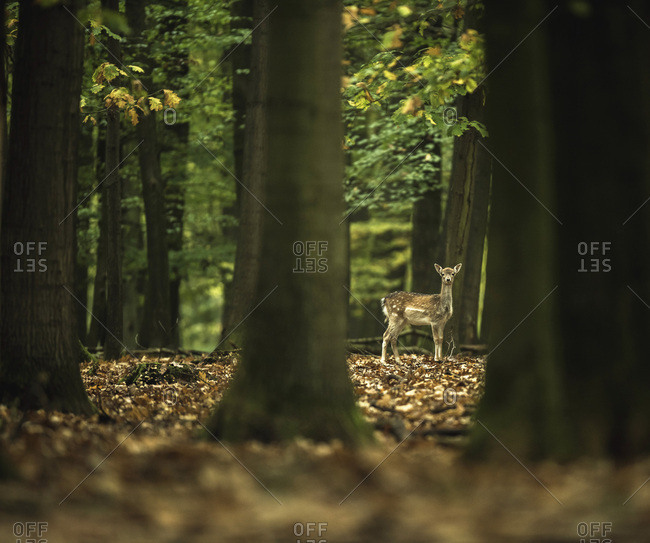 Young fallow deer alone in deciduous autumn forest