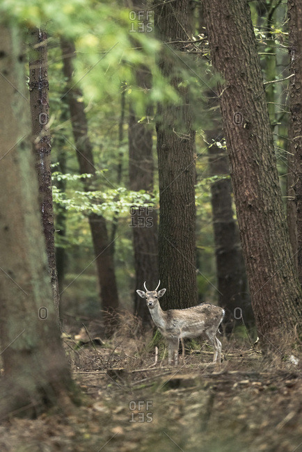Young fallow deer buck in forest