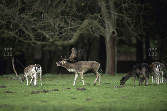 Bellowing fallow deer buck in meadow between females