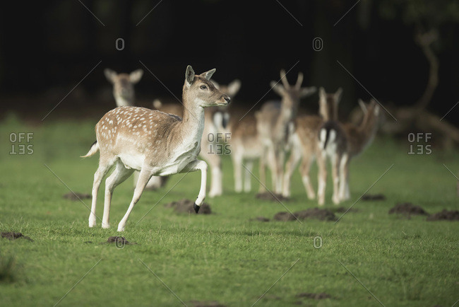 Fallow deer in starting position to run away