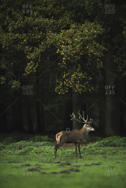 Red deer stag in meadow at edge of autumn forest