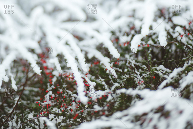 Snow covered bush with berries