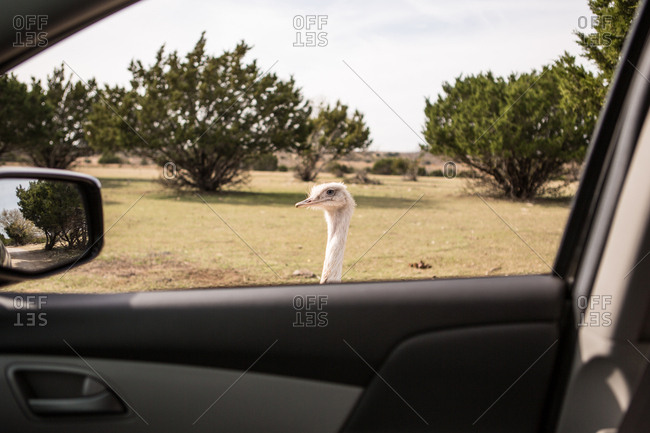 Ostrich looking into car window at drive-through animal park