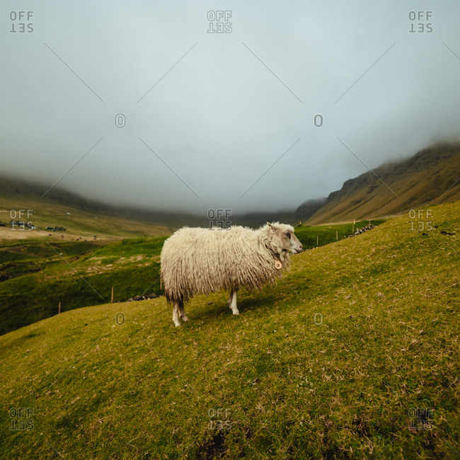 Sheep in foggy highlands