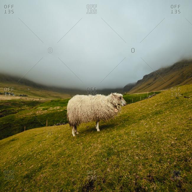 Sheep in foggy highlands