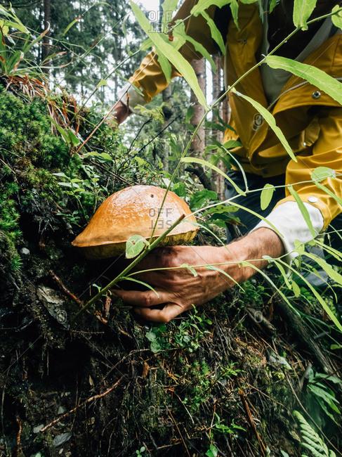 Male hand harvests mushrooms
