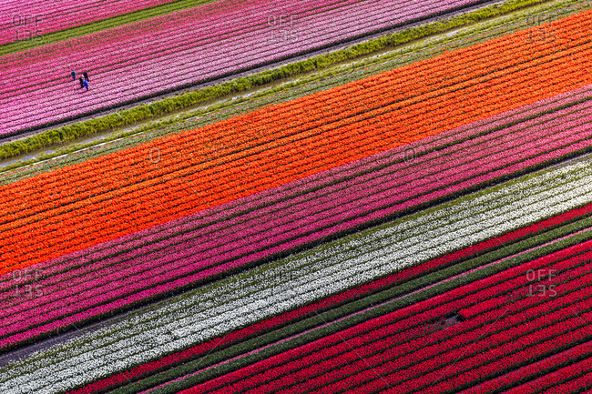 May 2016: Aerial view of the tulip fields in North Holland, The Netherlands