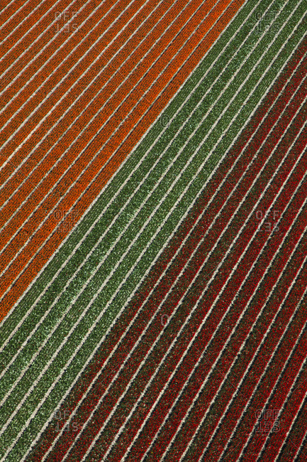 Aerial view of the tulip fields in North Holland, The Netherlands