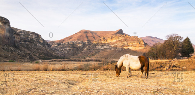 A horse grazes on the grass in the late afternoon sunlight against a beautiful and dramatic backdrop of mountains. Golden Gate National Park, Free State, South Africa.