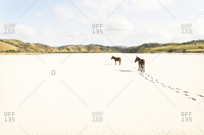 A color landscape image of two donkeys standing on a sandy beach with their foot prints trailing behind them. Mdumbi, South Africa.
