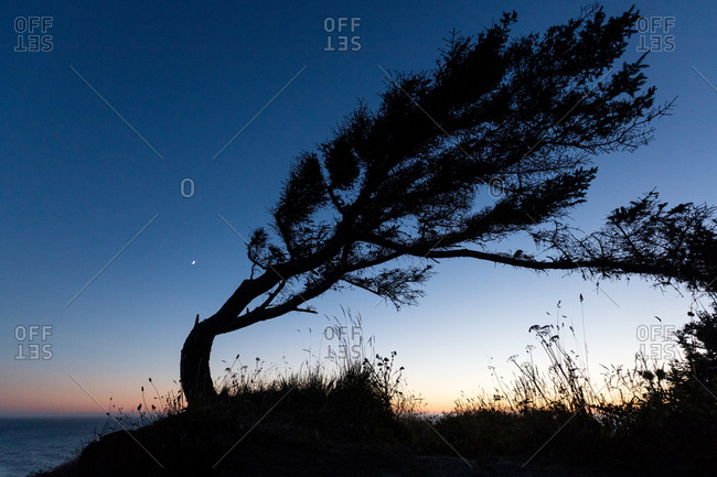 Silhouette of bent tree beside the ocean at night
