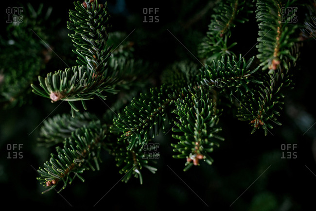 Close-up of pine branches