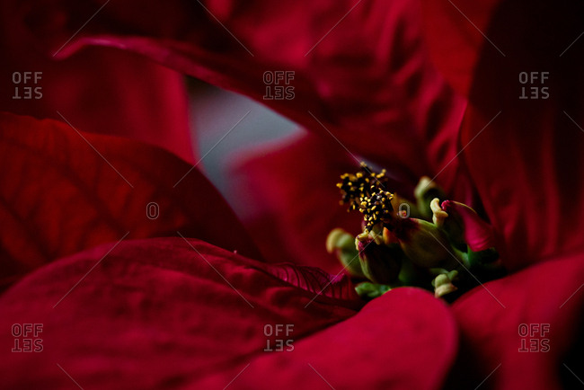 Close-up of a Red Poinsettia bloom