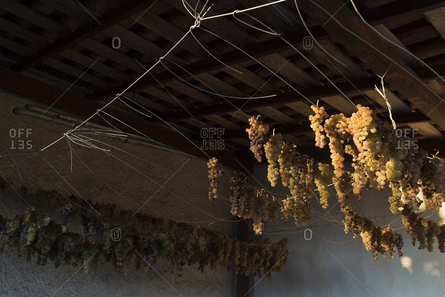 Clusters of grapes hanging from ceiling