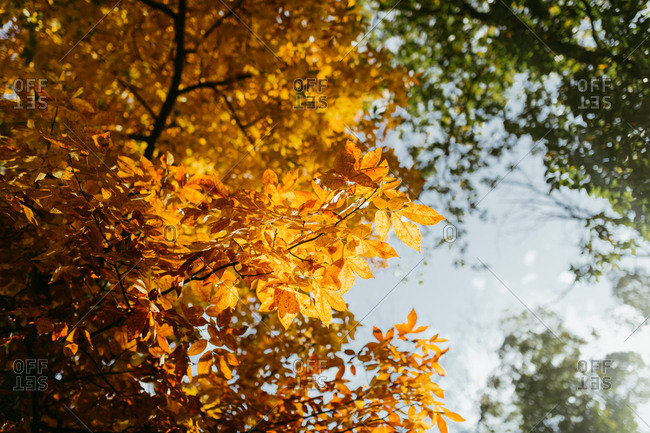 Low angle view of orange leaves on an autumn tree